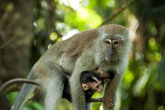 Long Tailed Macaque. A mother long tailed macaque is carried her two baby monkeys Royalty Free Stock Photos