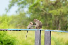 Long-tailed Macaque Mother monkey showing love affection to a yo. Ung baby monkey. Crab-eating macaque on wooden board with blurred green forest background stock image