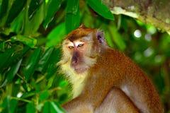 Long-tailed macaque, Penang, Malaysia Royalty Free Stock Photo
