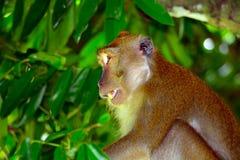Long-tailed macaque, Penang, Malaysia Royalty Free Stock Photos