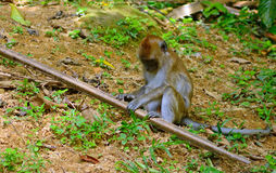 Long-tailed macaque, Penang, Malaysia Royalty Free Stock Photography