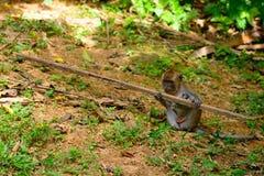 Long-tailed macaque, Penang, Malaysia Stock Image