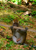 Long-tailed macaque, Penang, Malaysia Royalty Free Stock Image