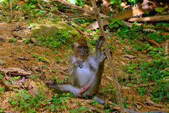 Long-tailed macaque, Penang, Malaysia Stock Images