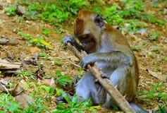 Long-tailed macaque, Penang, Malaysia Stock Photos