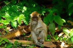 Long-tailed macaque, Penang, Malaysia Royalty Free Stock Photography