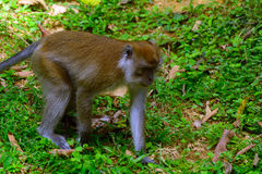 Long-tailed macaque, Penang, Malaysia Stock Photography