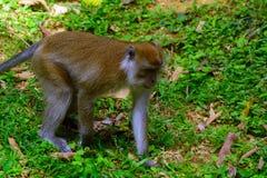 Long-tailed macaque, Penang, Malaysia Stock Photography