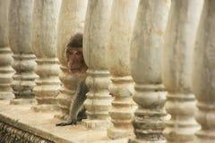Long-tailed macaque playing at Phnom Sampeau, Battambang, Cambod Royalty Free Stock Image