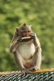 Long-tailed macaque playing at Phnom Sampeau, Battambang, Cambod Royalty Free Stock Photos