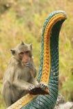 Long-tailed macaque playing at Phnom Sampeau, Battambang, Cambod Royalty Free Stock Photo