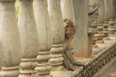 Long-tailed macaque playing at Phnom Sampeau, Battambang, Cambod Stock Image