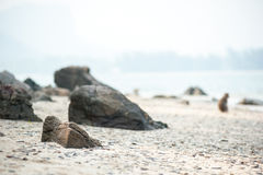 Long-tailed macaque on the sand beach , Thailand Stock Image