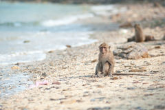 Long-tailed macaque on the sand beach , Thailand Stock Photography