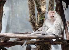 Long tailed macaque Royalty Free Stock Images