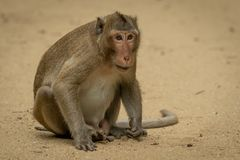 Long-tailed macaque sits staring on sandy ground stock image