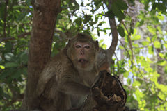 Long-tailed Macaque Royalty Free Stock Photo