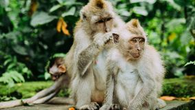 Long-tailed macaque with young ones on forage. Macaca fascicularis, in Sacred Monkey Forest, Ubud, Indonesia.  Stock Image