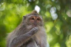 Long-tailed Macaquefallhammer Lizenzfreie Stockfotos