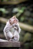 Long-tailed Macaquefallhammer Lizenzfreie Stockbilder