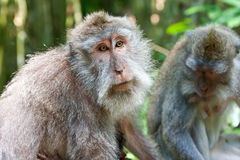 Long-tailed macaques Stock Images