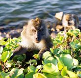 Long-tailed macaques Royalty Free Stock Photography
