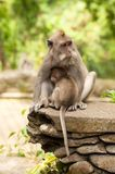 Long-tailed macaques Stock Image
