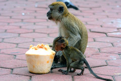 Long-tailed macaques, Gua Batu, Malaysia Stock Images