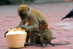 Long-tailed macaques, Gua Batu, Malaysia Royalty Free Stock Image