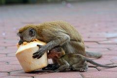 Long-tailed macaques, Gua Batu, Malaysia Royalty Free Stock Photography