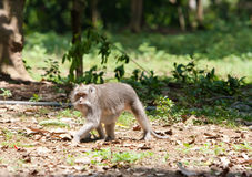 Long-tailed macaques (Macaca fascicularis) Stock Photography