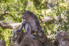 Long-tailed macaques (Macaca fascicularis) in Sacred Monkey Fore Royalty Free Stock Image