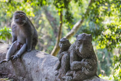 Long-tailed macaques (Macaca fascicularis) in Sacred Monkey Fore Royalty Free Stock Photo