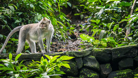 Long-tailed macaques Macaca fascicularis, in Sacred Monkey Forest, Ubud, Indonesia.  Stock Image