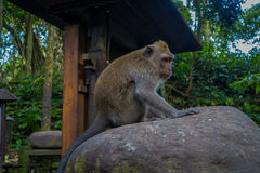 Long-tailed macaques Macaca fascicularis in The Ubud Monkey Forest Temple on Bali Indonesia.  Royalty Free Stock Image