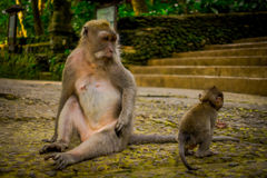Long-tailed macaques Macaca fascicularis in The Ubud Monkey Forest Temple on Bali Indonesia.  Stock Photo
