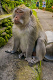 Long-tailed macaques Macaca fascicularis in The Ubud Monkey Forest Temple on Bali Indonesia.  Royalty Free Stock Photography