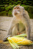 Long-tailed macaques Macaca fascicularis in The Ubud Monkey Forest Temple on Bali Indonesia.  Royalty Free Stock Images