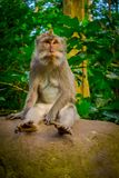 Long-tailed macaques Macaca fascicularis in The Ubud Monkey Forest Temple on Bali Indonesia.  Stock Photos