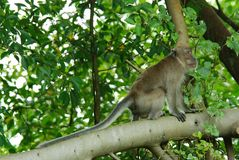 Long-tailed macaques monkey Stock Photography
