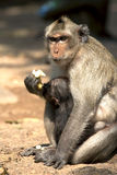 Long tailed macaques: mum and baby are eating. An adult long tailed macaque looks aggressive while eating with her baby Royalty Free Stock Photo