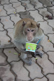 Long-tailed macaques Royalty Free Stock Photo