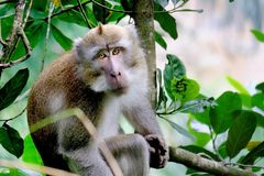 This is Long-tailed macaques. Sit down in tree and looking at the camera Stock Photography
