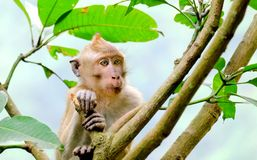 This is Long-tailed macaques. Sit down in tree and watching or see something, something interesting, or maybe other monkey Stock Photography