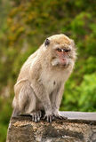 Long tailed macaques Royalty Free Stock Photos