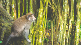 Long-tailed macaques sitting on an Tree, Macaca fascicularis, in Sacred Monkey Forest, Ubud, Indonesia Royalty Free Stock Photography