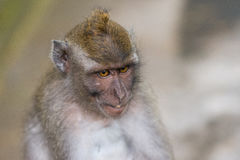 Long-tailed macaques (Macaca fascicularis) in Sacred Monkey Fore Stock Photo