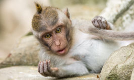 Long-tailed macaques & x28;Macaca fascicularis& x29; in Sacred Monkey Fore Stock Image