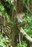 long-tailed Macaquesfallhammer Stockfoto