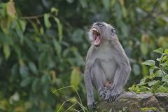 Dominant males. The long-tailed male monkeys show the power of the herd Stock Photography
